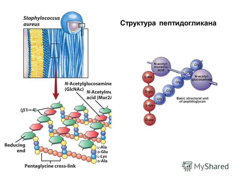Структура пептидогликана