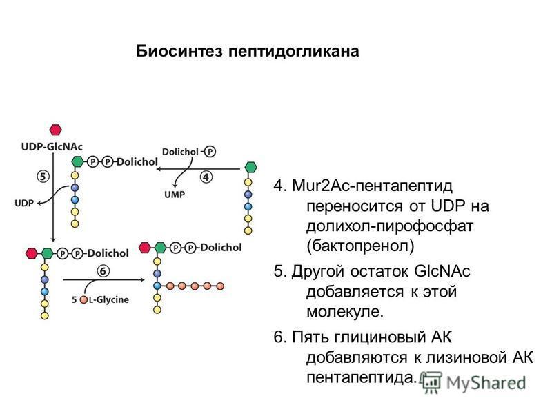 4. Mur2Ac-пентапептид переносится от UDP на долихос-пирофосфат (бактопренол) 5. Другой остаток GlcNAc добавляется к этой молекуле. 6. Пять глициновый АК добавляются к лизинговой АК пентапептида. Биосинтез пептидогликана
