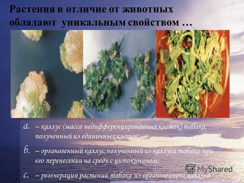 Растения в отличие от животных обладают уникальным свойством … a. – каллус (масса недифференцированных клеток) табака, полученный из единичных клеток; b. – органогенный каллус,полученный из каллуса табака при его перенесении на среду с цитокинином; c