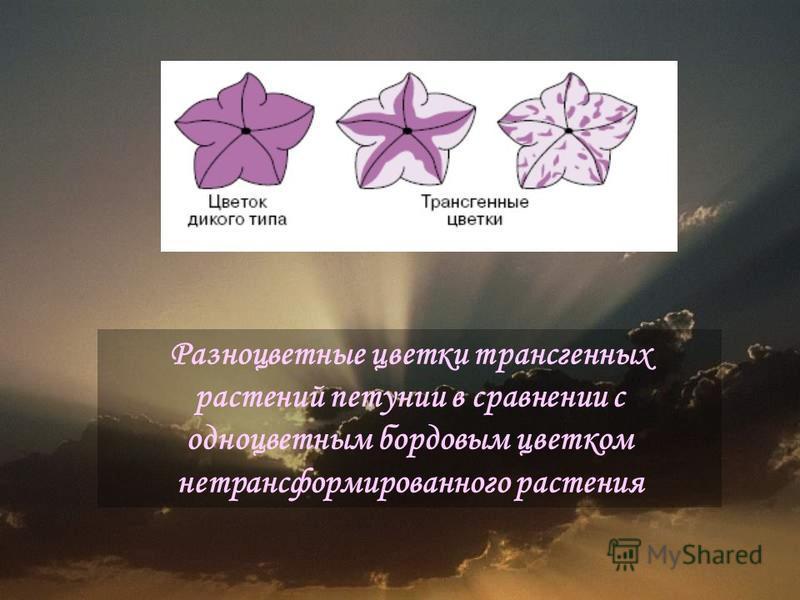 Разноцветные цветки трансгенных растений петунии в сравнении с одноцветным бордовым цветком нетрансформированного растения