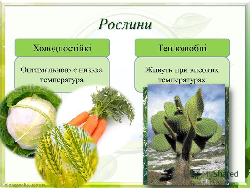 Рослини ХолодностійкіТеплолюбні Оптимальною є низька температура Живуть при високих температурах