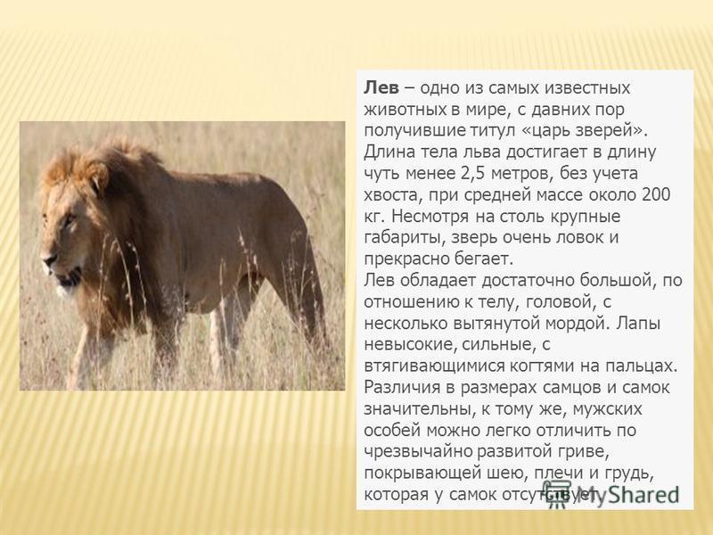 Лев – одно из самых известных животных в мире, с давних пор получившие титул «царь зверей». Длина тела льва достигает в длину чуть менее 2,5 метров, без учета хвоста, при средней массе около 200 кг. Несмотря на столь крупные габариты, зверь очень лов
