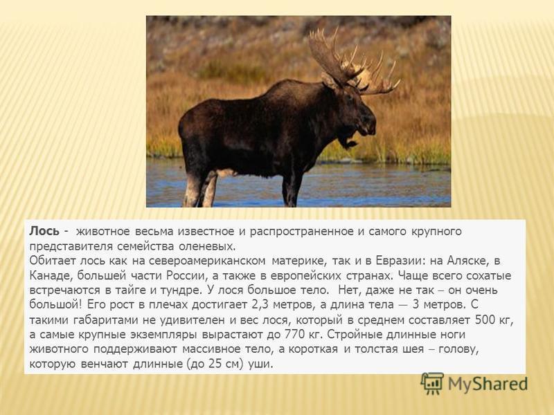 Лось - животное весьма известное и распространенное и самого крупного представителя семейства оленевых. Обитает лось как на североамериканском материке, так и в Евразии: на Аляске, в Канаде, большей части России, а также в европейских странах. Чаще в