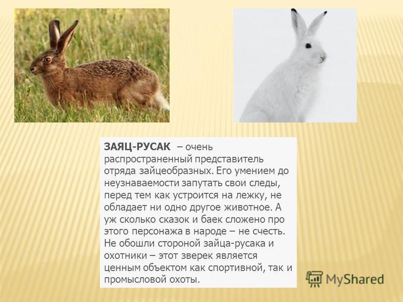 ЗАЯЦ-РУСАК – очень распространенный представитель отряда зайцеобразных. Его умением до неузнаваемости запутать свои следы, перед тем как устроится на лежку, не обладает ни одно другое животное. А уж сколько сказок и баек сложено про этого персонажа в