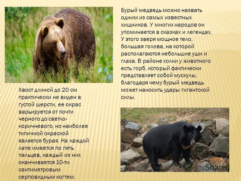 Бурый медведь можно назвать одним из самых известных хищников. У многих народов он упоминается в сказках и легендах. У этого зверя мощное тело, большая голова, на которой располагаются небольшие уши и глаза. В районе холки у животного есть горб, кото