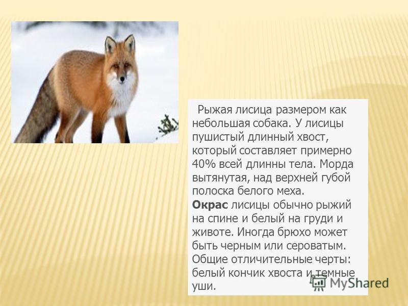 Рыжая лисица размером как небольшая собака. У лисицы пушистый длинный хвост, который составляет примерно 40% всей длинны тела. Морда вытянутая, над верхней губой полоска белого меха. Окрас лисицы обычно рыжий на спине и белый на груди и животе. Иногд