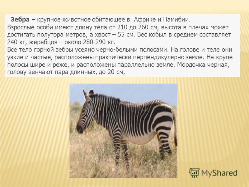З ебра – крупное животное обитающее в Африке и Намибии. Взрослые особи имеют длину тела от 210 до 260 см, высота в плечах может достигать полутора метров, а хвост – 55 см. Вес кобыл в среднем составляет 240 кг, жеребцов – около 280-290 кг. Все тело г