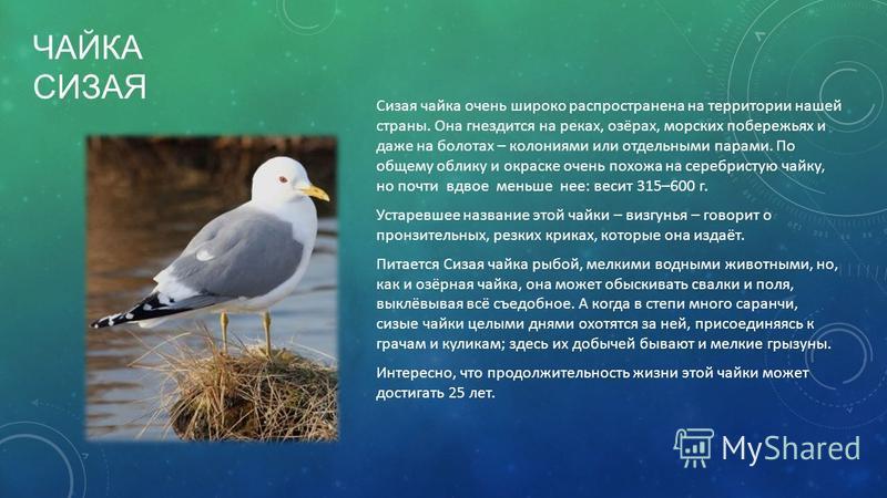 ЧАЙКА СИЗАЯ Сизая чайка очень широко распространена на территории нашей страны. Она гнездится на реках, озёрах, морских побережьях и даже на болотах – колониями или отдельными парами. По общему облику и окраске очень похожа на серебристую чайку, но п