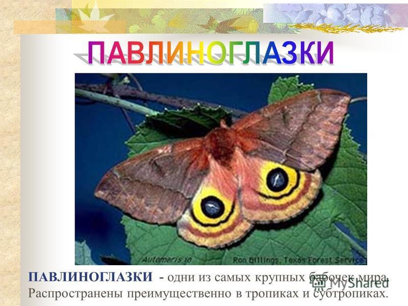 ПАВЛИНОГЛАЗКИ - одни из самых крупных бабочек мира. Распространены преимущественно в тропиках и субтропиках.