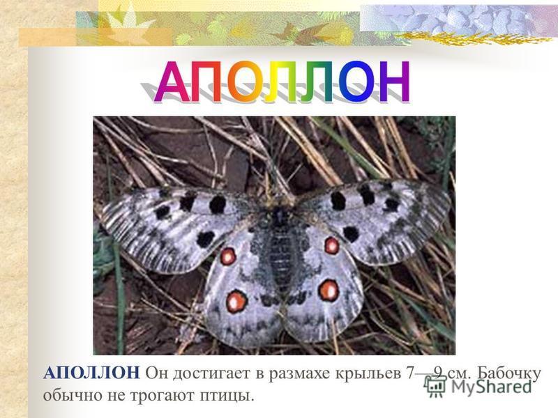 АПОЛЛОН Он достигает в размахе крыльев 79 см. Бабочку обычно не трогают птицы.