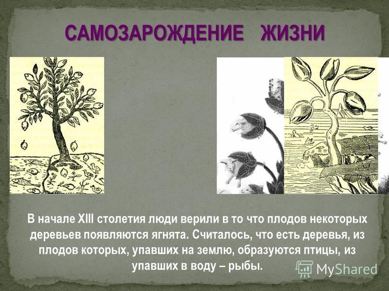В начале ХIII столетия люди верили в то что плодов некоторых деревьев появляются ягнята. Считалось, что есть деревья, из плодов которых, упавших на землю, образуются птицы, из упавших в воду – рыбы. САМОЗАРОЖДЕНИЕ ЖИЗНИ