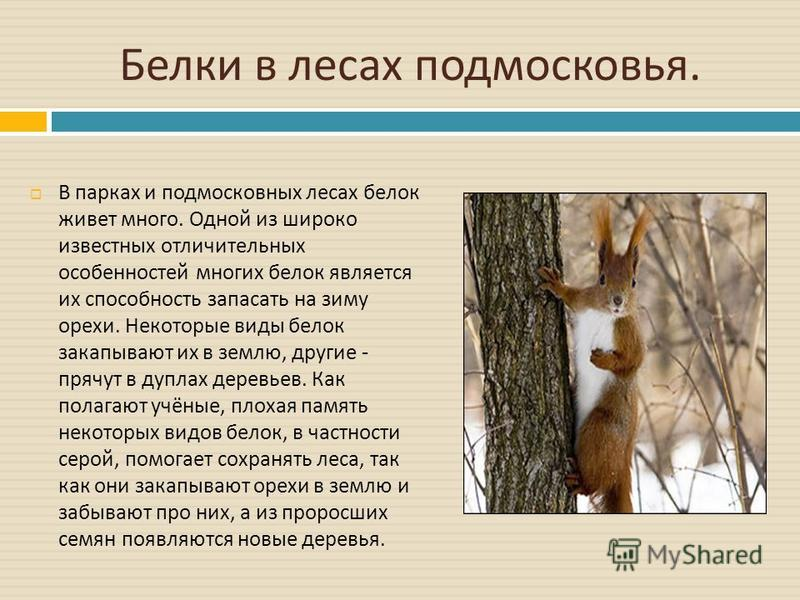 Белки в лесах подмосковья. В парках и подмосковных лесах белок живет много. Одной из широко известных отличительных особенностей многих белок является их способность запасать на зиму орехи. Некоторые виды белок закапывают их в землю, другие - прячут