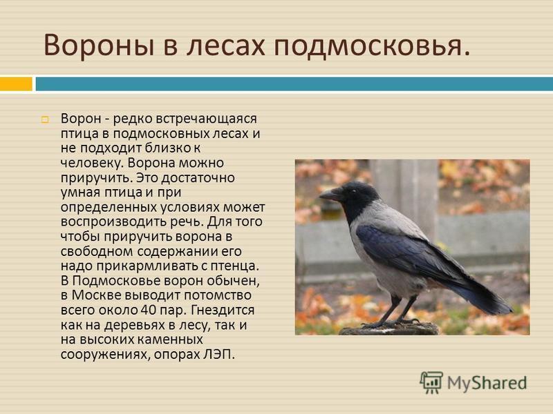 Вороны в лесах подмосковья. Ворон - редко встречающаяся птица в подмосковных лесах и не подходит близко к человеку. Ворона можно приручить. Это достаточно умная птица и при определенных условиях может воспроизводить речь. Для того чтобы приручить вор