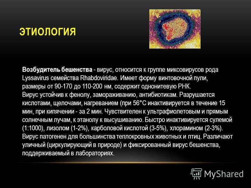 ЭТИОЛОГИЯ Возбудитель бешенства - вирус, относится к группе миксовирусов рода Lyssavirus семейства Rhabdoviridae. Имеет форму винтовочной пули, размеры от 90-170 до 110-200 нм, содержит однонитевую РНК. Вирус устойчив к фенолу, замораживанию, антибио