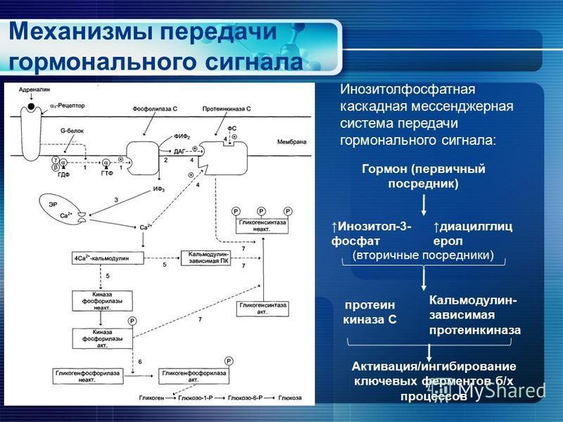 Механизмы передачи гормонального сигнала Инозитолфосфатная каскадная мессенджерная система передачи гормонального сигнала: Гормон (первичный посредник) Инозитол-3- фосфат диацилглиц орел (вторичные посредники) протеин киназа С Кальмодулин- зависимая