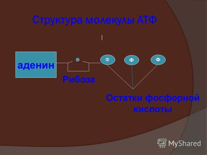 Структура молекулы АТФ аденин Ф Ф Ф Рибоза Остатки фосфорной кислоты
