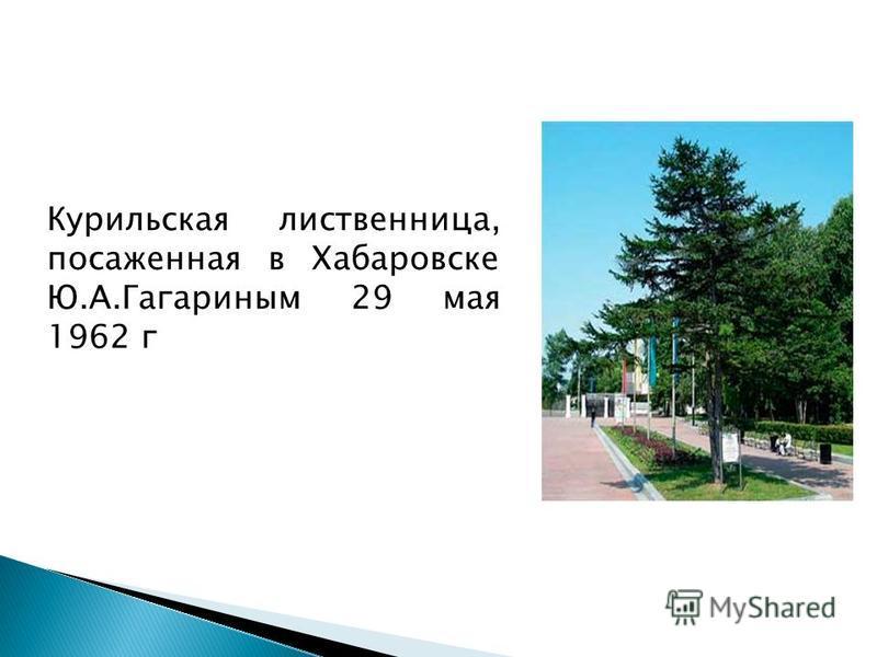 Курильская лиственница, посаженная в Хабаровске Ю.А.Гагариным 29 мая 1962 г
