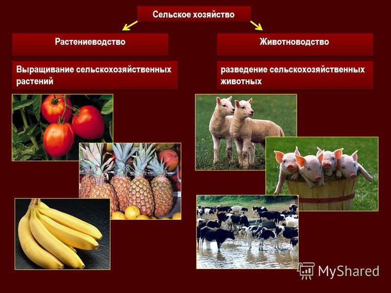 Выращивание сельскохозяйственных растений Выращивание сельскохозяйственных растений Сельское хозяйство Растениеводство Животноводство разведение сельскохозяйственных животных разведение сельскохозяйственных животных