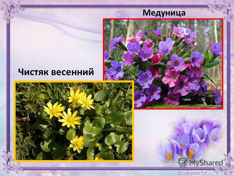 Медуница Чистяк весенний