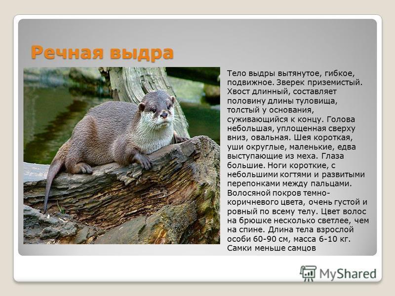 Заяц-беляк Заяц-беляк млекопитающее. Длина тела зайца-беляка составляет от 44 см до 65 см (иногда до 74 см), масса тела может достигать 1,6-4,5 кг. Уши этих животных довольно большие 7,5-10 см, в то время как хвост наоборот маленький, 5-11 см. У зайц
