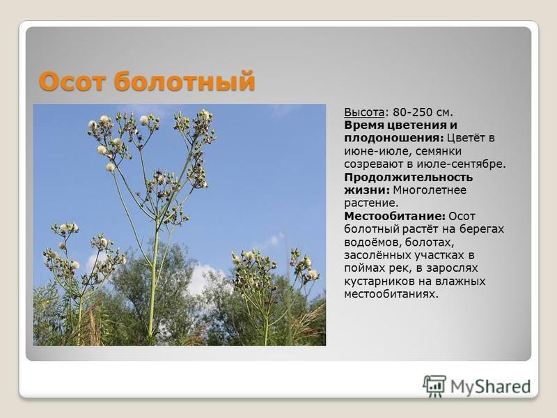 Наголоватка паутинистая Высота: 15-60 см. Время цветения и плодоношения: Цветёт в июне-июле, семянки созревают в июле-августе. Продолжительность жизни: Многолетнее растение. Местообитание: Наголоват ка паутинистая растёт в степях, на обнажениях извес