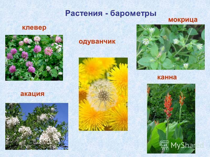 Растения - барометры клевер мокрица одуванчик акация канна