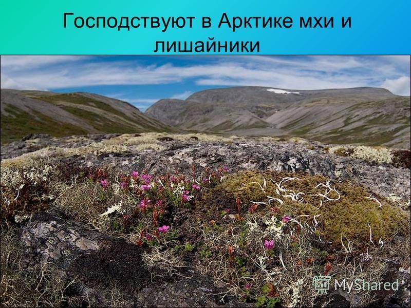 Господствуют в Арктике мхи и лишайники