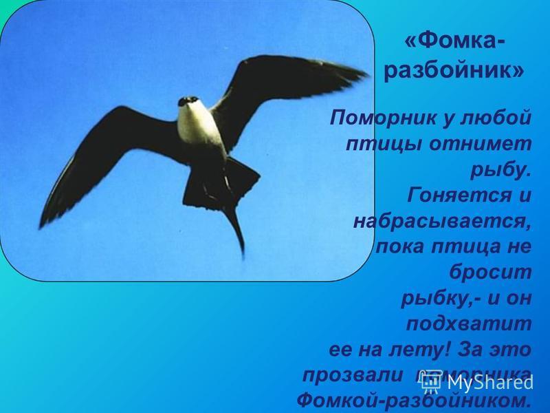 «Фомка- разбойник» Поморник у любой птицы отнимет рыбу. Гоняется и набрасывается, пока птица не бросит рыбку,- и он подхватит ее на лету! За это прозвали поморника Фомкой-разбойником.