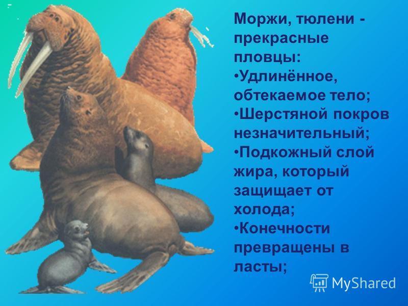 Моржи, тюлени - прекрасные пловцы: Удлинённое, обтекаемое тело; Шерстяной покров незначительный; Подкожный слой жира, который защищает от холода; Конечности превращены в ласты;