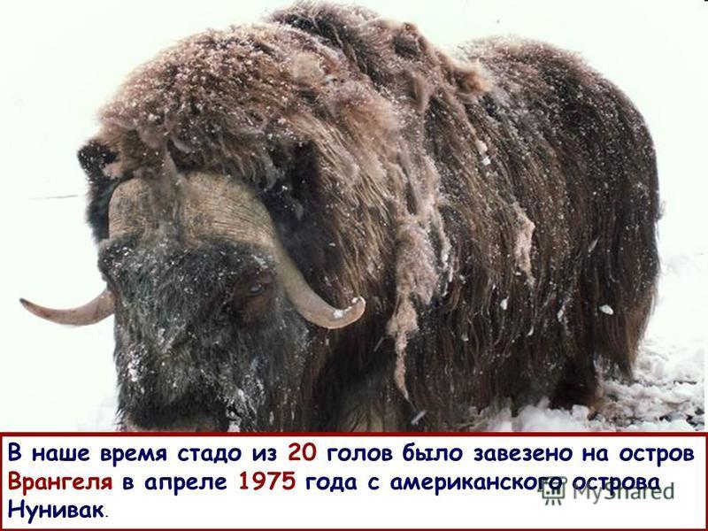 В наше время стадо из 20 голов было завезено на остров Врангеля в апреле 1975 года с американского острова Нунивак.