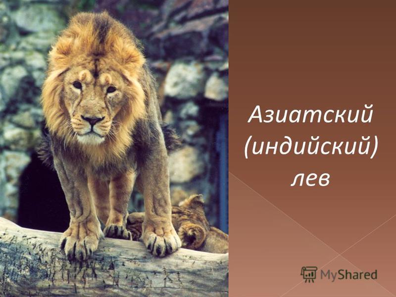 Азиатский (индийский) лев