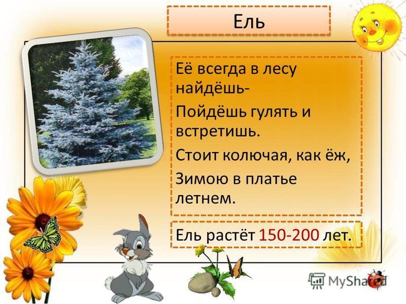 Ель Её всегда в лесу найдёшь- Пойдёшь гулять и встретишь. Стоит колючая, как ёж, Зимою в платье летнем. Ель растёт 150-200 лет.