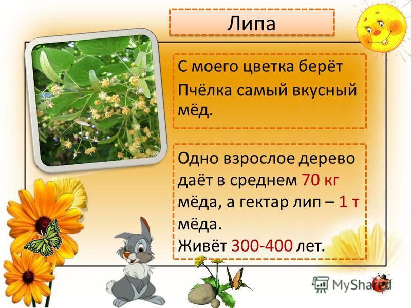Липа С моего цветка берёт Пчёлка самый вкусный мёд. Одно взрослое дерево даёт в среднем 70 кг мёда, а гектар лип – 1 т мёда. Живёт 300-400 лет.