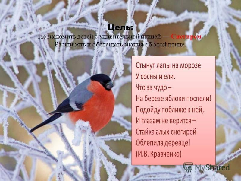 Цель: Познакомить детей с удивительной птицей Снегирем. Расширять и обогащать знания об этой птице.