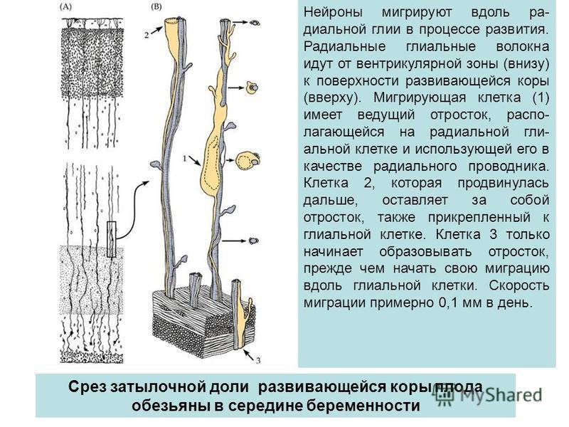Нейроны мигрируют вдоль радиальной глии в процессе развития. Радиальные глиальные волокна идут от вентрикулярной зоны (внизу) к поверхности развивающейся коры (вверху). Мигрирующая клетка (1) имеет ведущий отросток, распо- лягающейся на радиальной гл