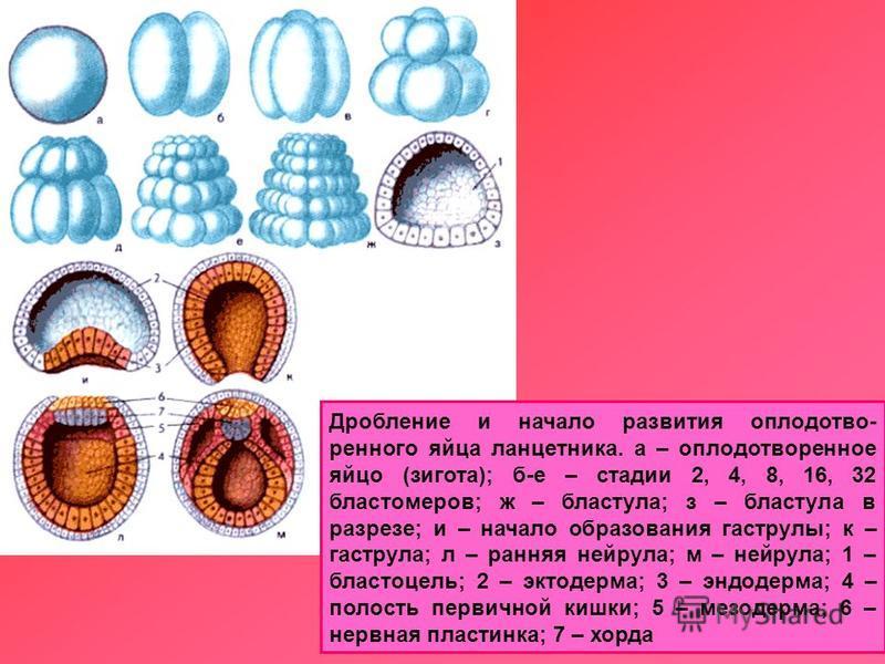 Дробление и начало развития оплодотворенного яйца ланцетника. а – оплодотворенное яйцо (зигота); б-е – стадии 2, 4, 8, 16, 32 бластомеров; ж – бластула; з – бластула в разрезе; и – начало образования гаструлы; к – гаструла; л – ранняя нейрула; м – не