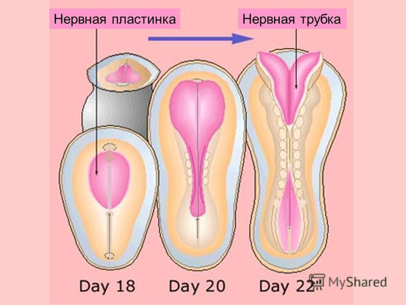 Нервная пластинка Нервная трубка