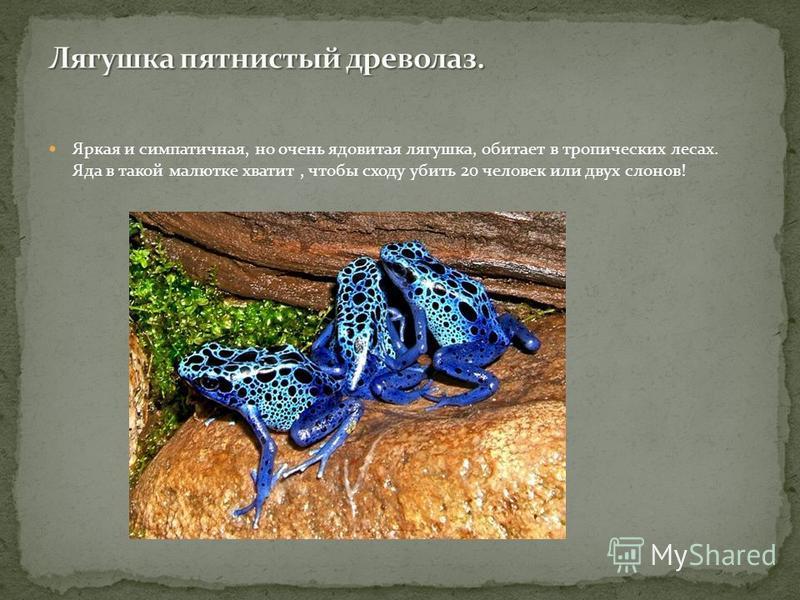 Яркая и симпатичная, но очень ядовитая лягушка, обитает в тропических лесах. Яда в такой малютке хватит, чтобы сходу убить 20 человек или двух слонов!