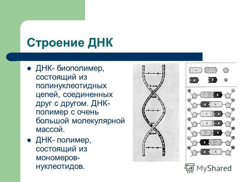 Значение нуклеиновых кислот Хранение, перенос и передача по наследству информации о структуре белковых молекул. Стабильность НК- важнейшее условие нормальной жизнедеятельности клеток и целых организмов. Изменение структуры НК- изменение структуры кле
