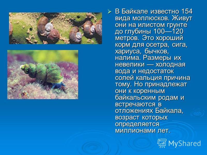 В Байкале известно 154 вида моллюсков. Живут они на илистом грунте до глубины 100120 метров. Это хороший корм для осетра, сига, хариуса, бычков, налима. Размеры их невелики холодная вода и недостаток солей кальция причина тому. Но принадлежат они к