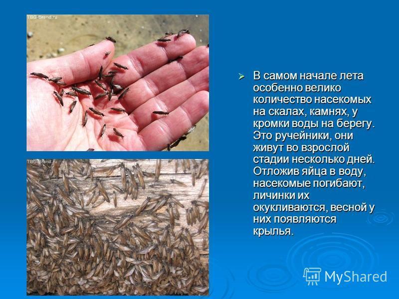 В самом начале лета особенно велико количество насекомых на скалах, камнях, у кромки воды на берегу. Это ручейники, они живут во взрослой стадии несколько дней. Отложив яйца в воду, насекомые погибают, личинки их окукливалются, весной у них появляютс