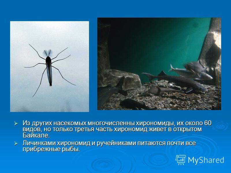Из других насекомых многочисленны хирономиды, их около 60 видов, но только третья часть хирономид живет в открытом Байкале. Из других насекомых многочисленны хирономиды, их около 60 видов, но только третья часть хирономид живет в открытом Байкале. Ли