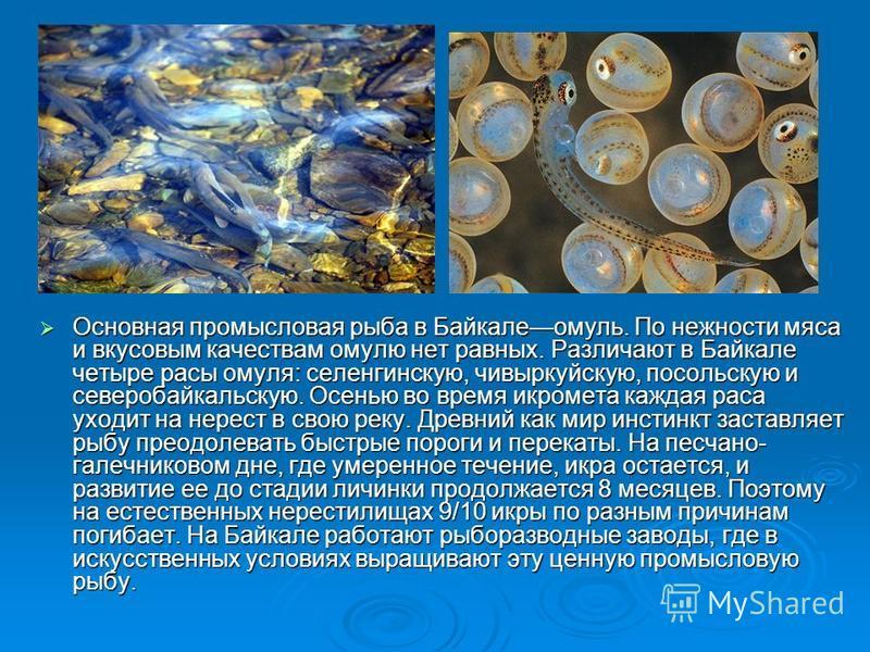 Основная промысловая рыба в Байкалеомуль. По нежности мяса и вкусовым качествам омулю нет равных. Различают в Байкале четыре расы омуля: селенгинскую, чивыркуйскую, посольскую и северобайкальскую. Осенью во время икромета каждая раса уходит на нерест