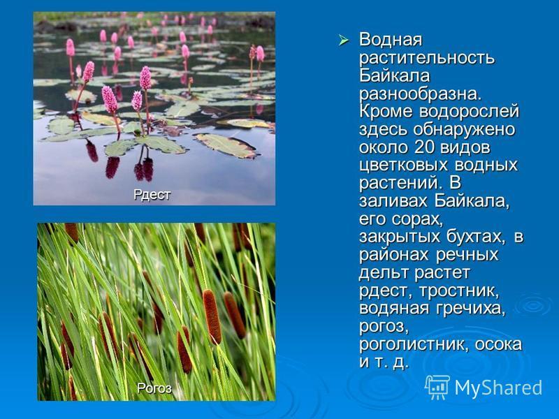Водная растительность Байкала разнообразна. Кроме водорослей здесь обнаружено около 20 видов цветковых водных растений. В заливах Байкала, его сорах, закрытых бухтах, в районах речных дельт растет рдест, тростник, водяная гречиха, рогоз, роголистник,