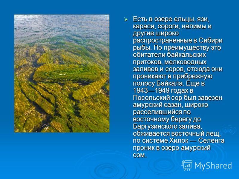 Есть в озере ельцы, язи, караси, сороги, налимы и другие широко распространенные в Сибири рыбы. По преимуществу это обитатели байкальских притоков, мелководных заливов и соров, отсюда они проникают в прибрежную полосу Байкала. Еще в 19431949 годах в