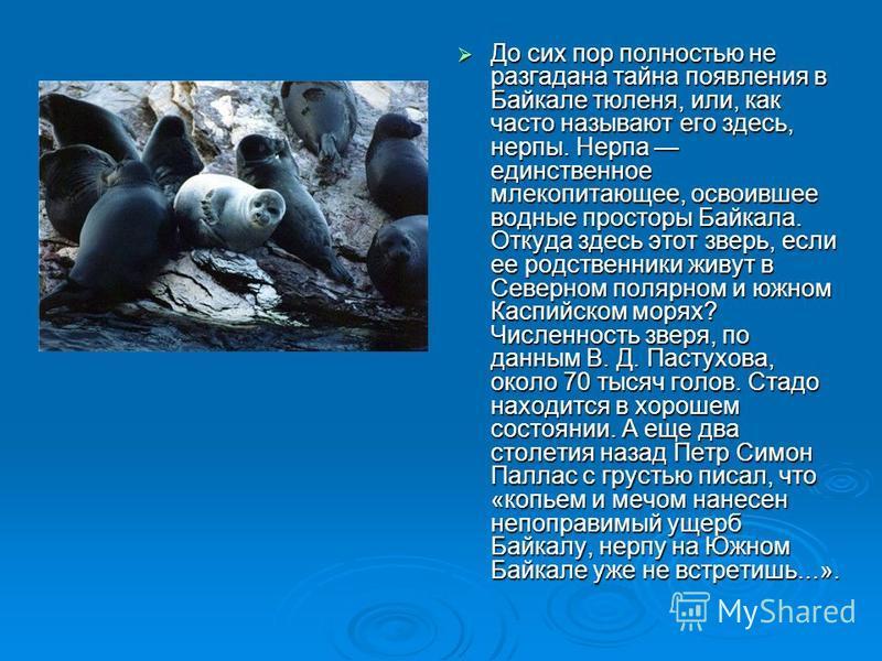 До сих пор полностью не разгадана тайна появления в Байкале тюленя, или, как часто называлют его здесь, нерпы. Нерпа единственное млекопитающее, освоившее водные просторы Байкала. Откуда здесь этот зверь, если ее родственники живут в Северном поляр