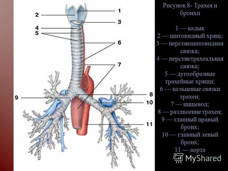Рисунок 8- Трахея и бронхи 1 кадык 2 щитовидный хрящ; 3 перстнещитовидная связка; 4 перстнетрахеальная связка; 5 дугообразные трахейные хрящи; 6 кольцевые связки трахеи; 7 пищевод; 8 раздвоение трахеи; 9 главный правый бронх; 10 главный левый бронх;