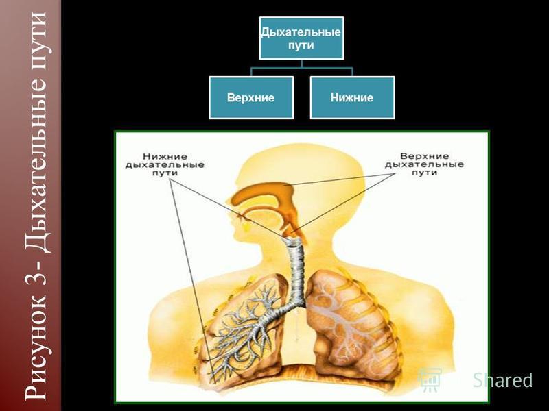 Дыхательные пути Верхние Нижние Рисунок 3- Дыхательные пути