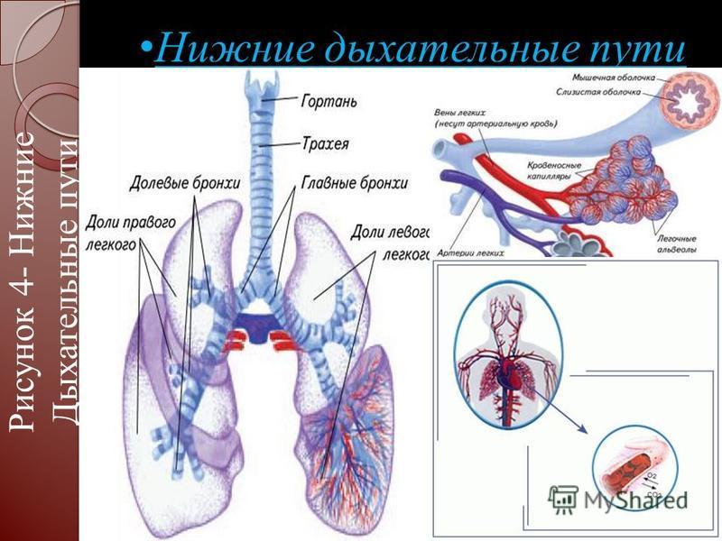 Нижние дыхательные пути Нижние дыхательные пути Рисунок 4- Нижние Дыхательные пути