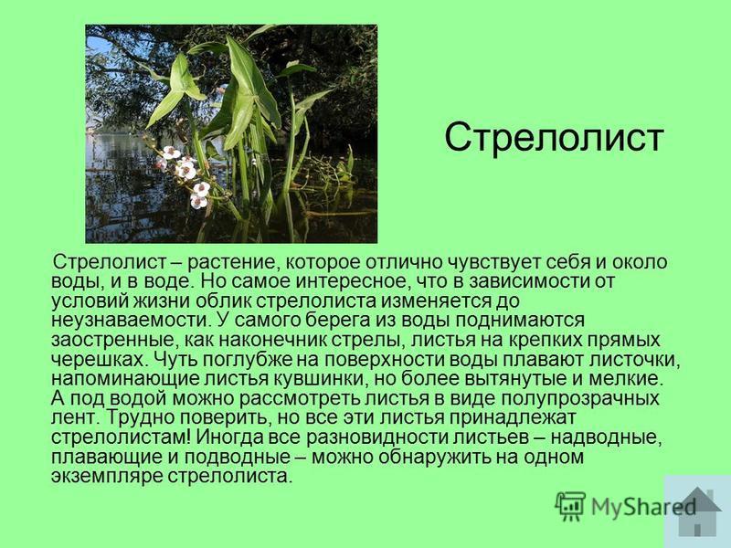 Стрелолист Стрелолист – растение, которое отлично чувствует себя и около воды, и в воде. Но самое интересное, что в зависимости от условий жизни облик стрелолиста изменяется до неузнаваемости. У самого берега из воды поднимаются заостренные, как нако